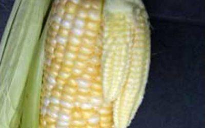 Corn Babies
