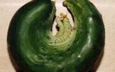 All-Kinds-of-Crazy Cucumber