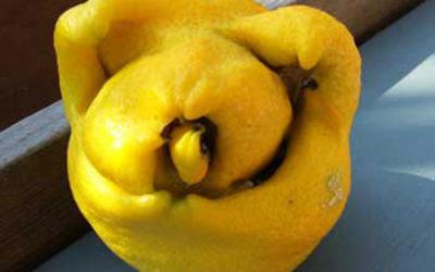 Pig Lemon