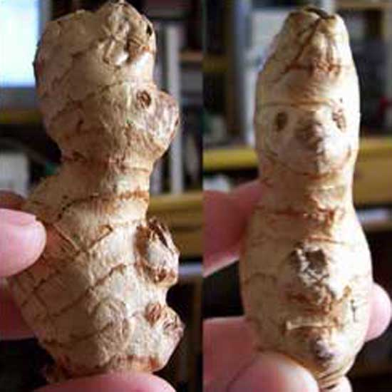 Happy Root Bunny