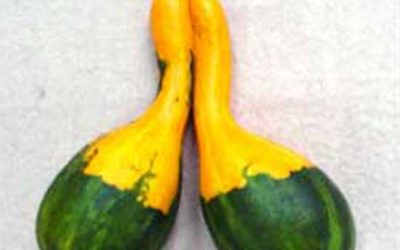 Siamese Gourds