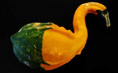 Swan Gourd
