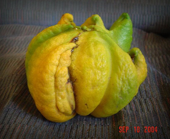 Tentacle Lemon