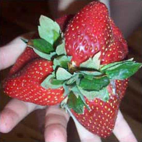 mutantstrawberry-jamesh.jpg
